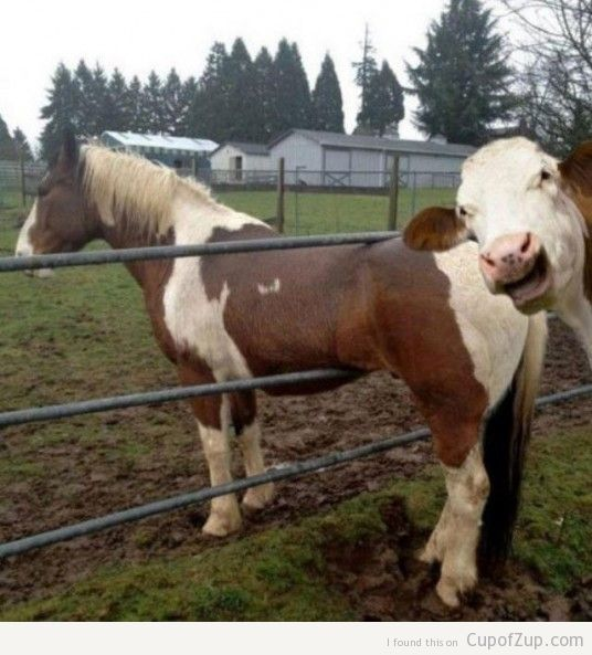 cow-photobomb-536x593